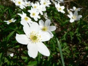 wood, anemone, flowers