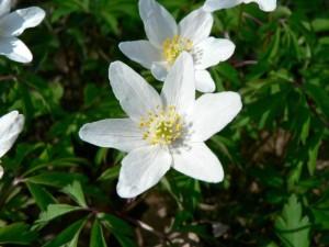 wood, anemone, grass, close