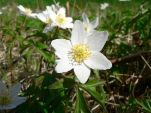 wood, anemone, several, white flowers