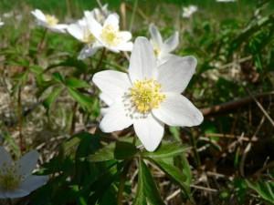 Holz, Anemone, mehrere, weiße Blüten