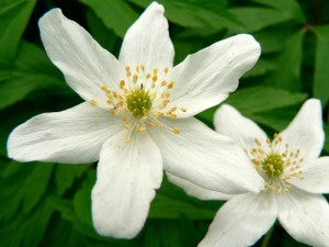wood, anemone, stock, photo