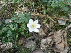 wood, anemone, old, leaves
