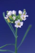 Arabidopsis thaliana vagy lúdfű, virág