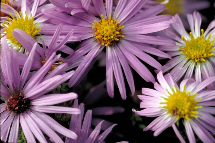 aromatic, aster