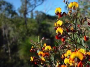 tocino, planta, Eutaxia, obovata