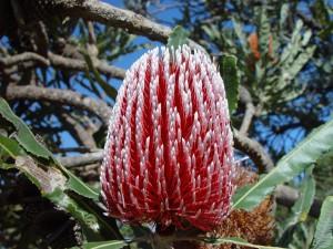 banksia, cvijet, crveni