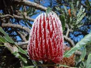Banksia floare