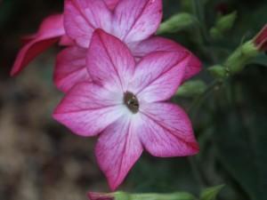 belle, fleur rose, à proximité