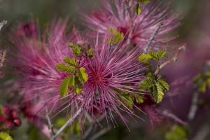 beautiful, purple, desert, flower