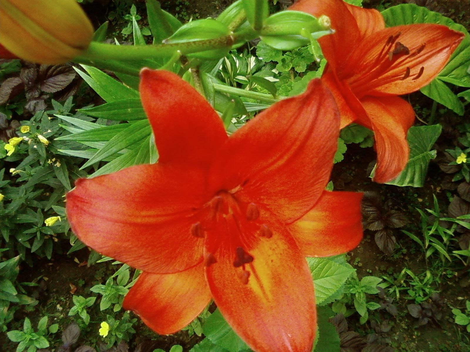 Free picture beautiful red flowers garden beautiful red flowers garden izmirmasajfo