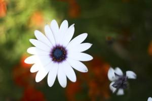 belle, fleur blanche, jardin