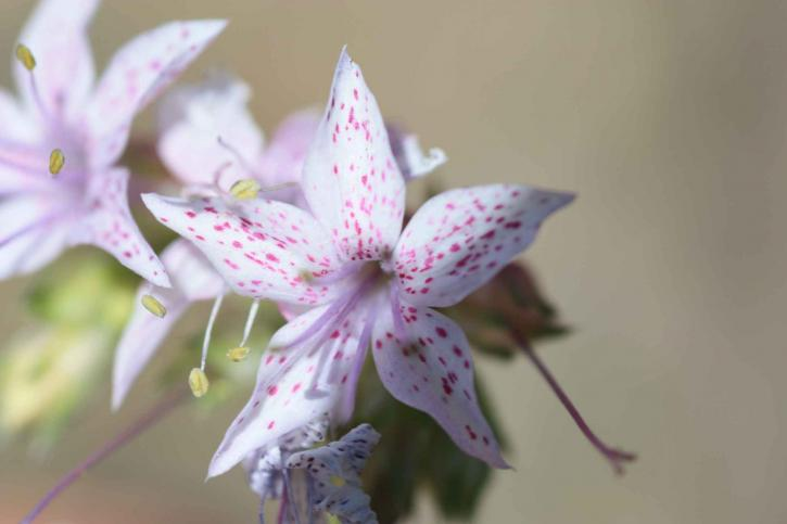 beautiful, white flower, pink, little, spots