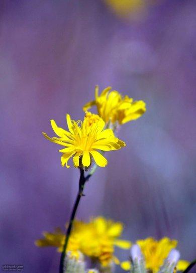 beau, jaune, montagnes, fleurs