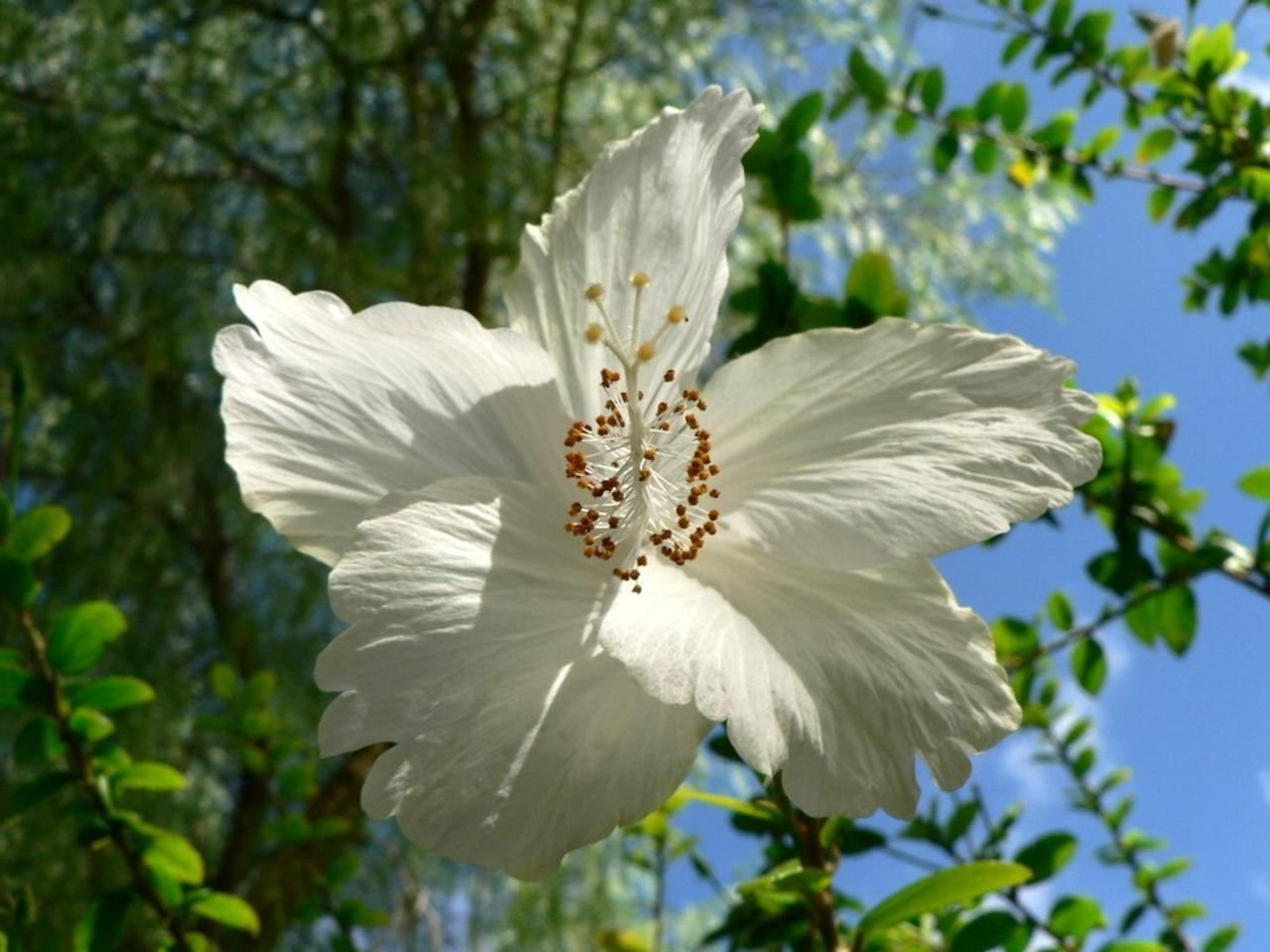 Free Picture Big White Tree Flower