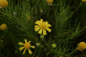bitter, sneezeweed, yellowish, flowers