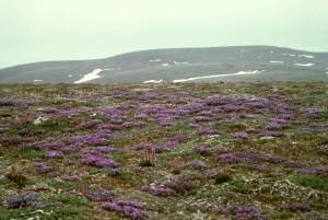 blackish, oxytrope, plant, purple flowers, oxytropis, nigrescens