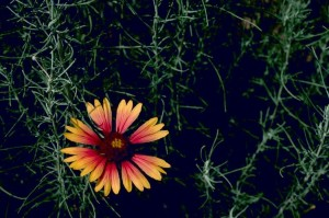 blanket, flower, gaillardia, aristata
