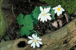 bloodroot, wildness, flowers