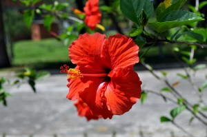 blooming, orange, red flower, close