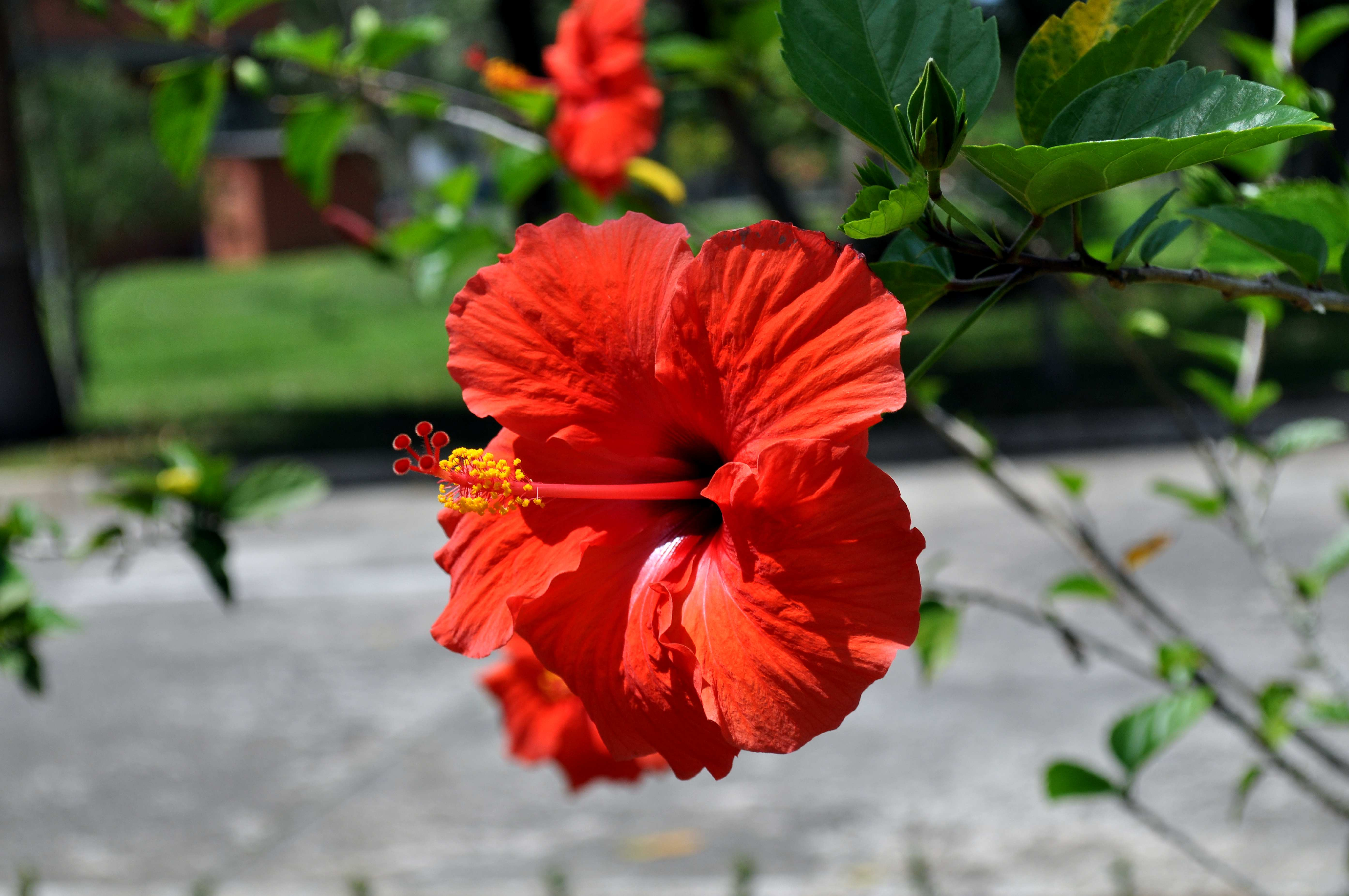 Free photograph; blooming, orange, red, flower, close
