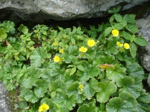 blooming, spreading, avens, flowers