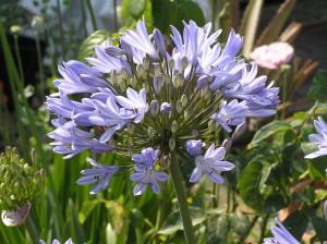 blau, agapanthus