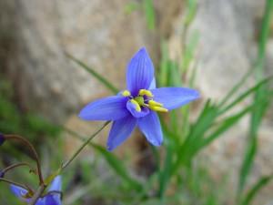 blau, gold, gebürtig, Blüte