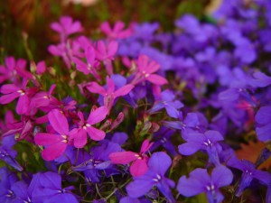 Mavi, mor çiçekler, odaklanmamış, mor çiçekler