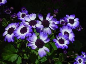 modré kvety, meste joondalup