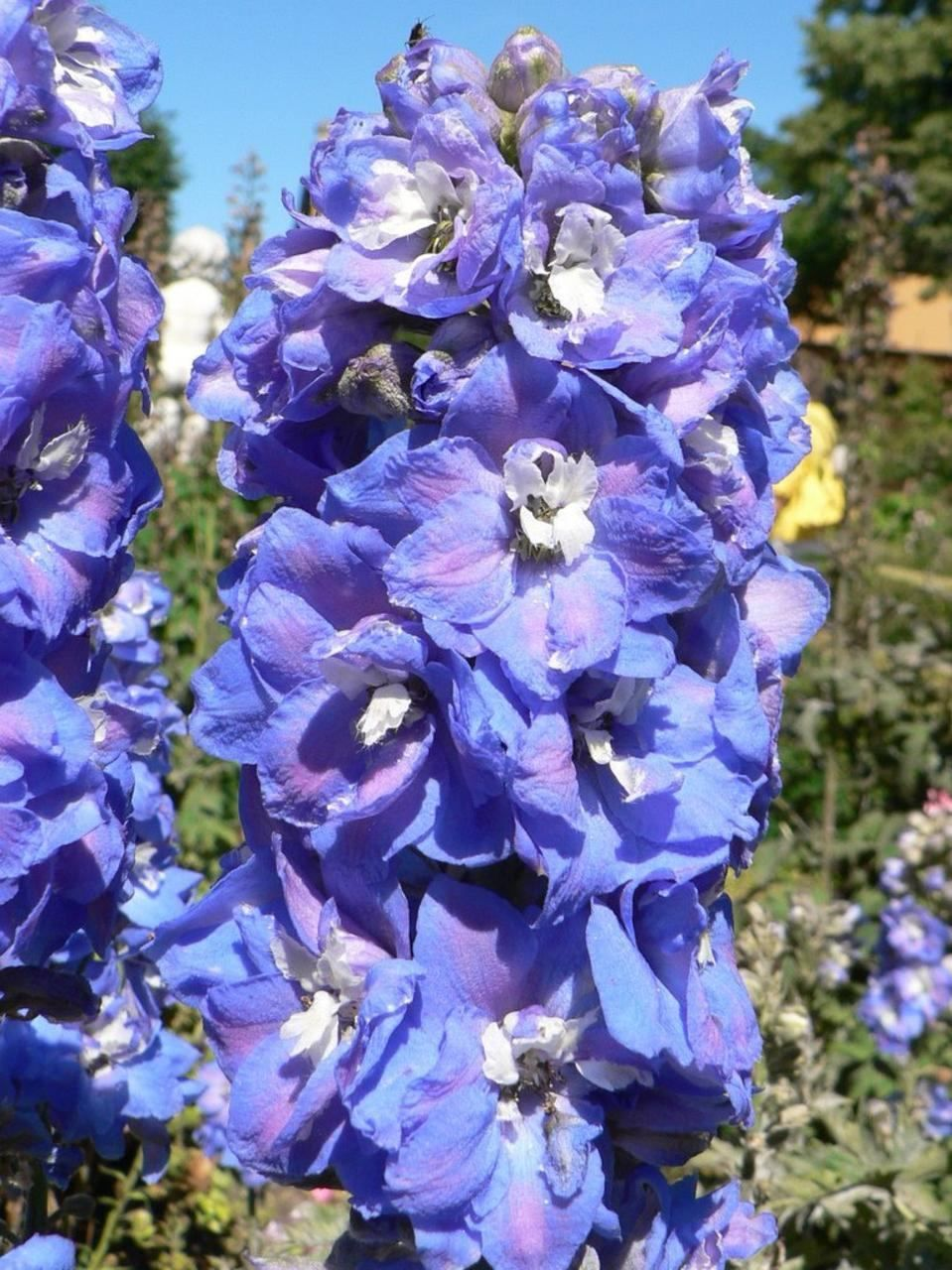 Free Picture Blue Spring Flowers