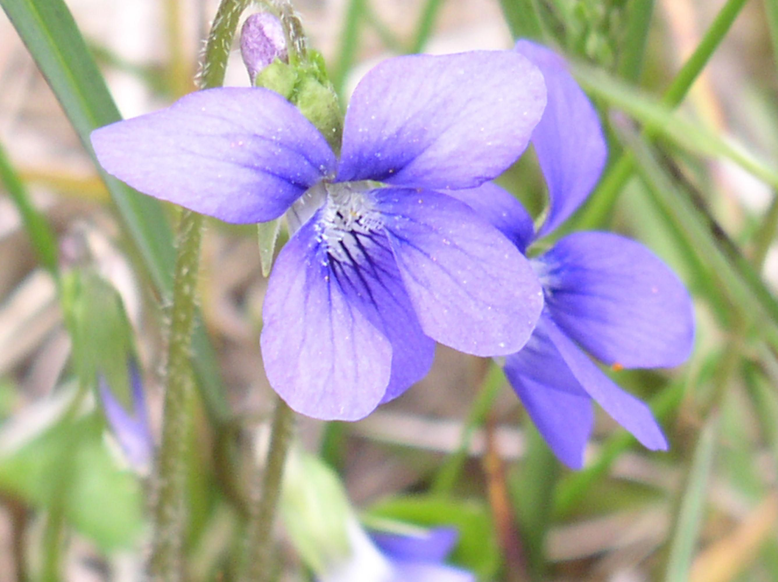 Free Picture Blue Violet Flower