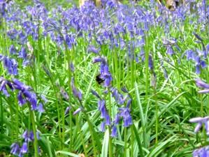 jacinthe, fleur, abeille