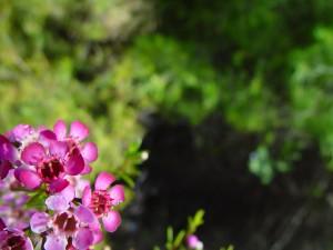 jasny różowy, geraldotn, kwiaty