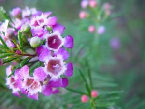 jasny fiolet, geraldton, wosk, rosy