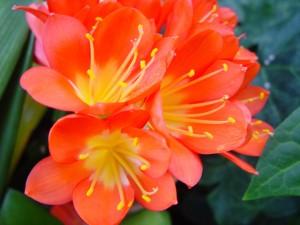 jasny czerwony, kwiaty