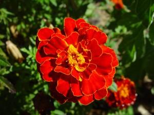 bright red, marigold, calrkson, western, Australia