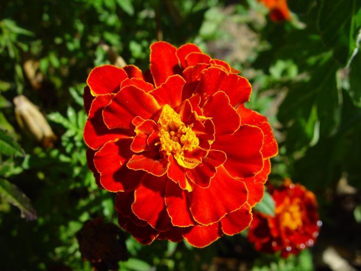 φωτεινό κόκκινο, καλέντουλα, calrkson, δυτικός, Αυστραλία
