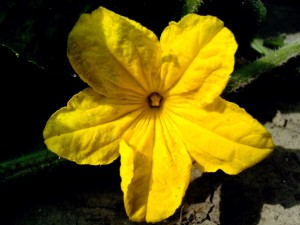 bright yellow, cucumber, flower