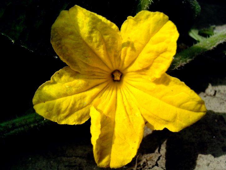 bright, yellow, cucumber, flower