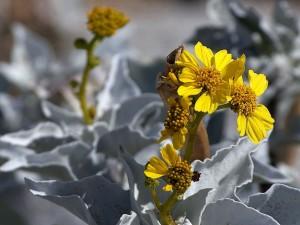 brittlebush, encelia, farinosa