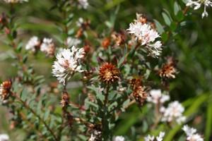 braun, Saatgut, Schoten, weiße Blüten, porongurup
