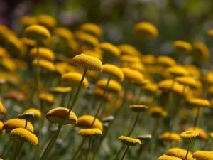 tlačidlo, kvety, žlté