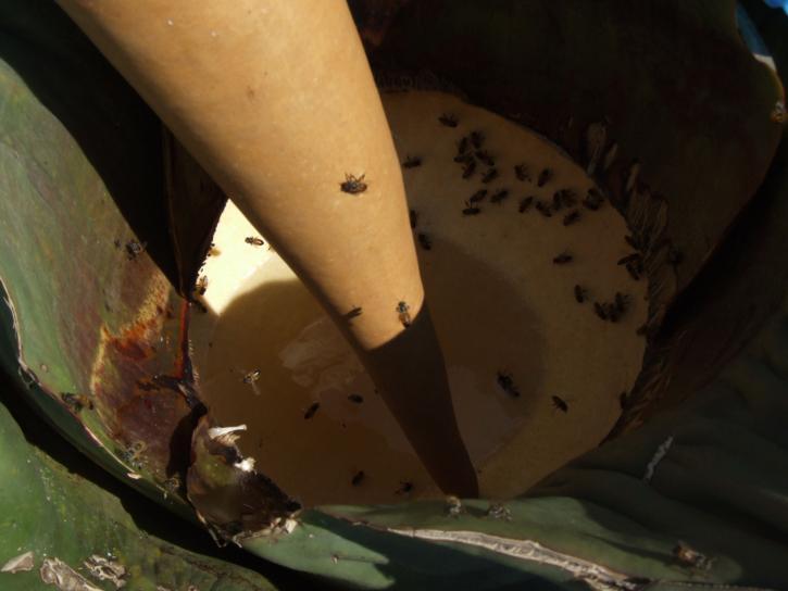 Agave, kaktuskasvit, mehiläiset