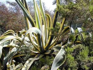 Agava, kaktusa