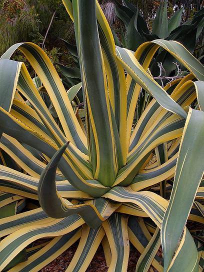 kostenlose bild agave kaktus pflanze w ste blumen. Black Bedroom Furniture Sets. Home Design Ideas