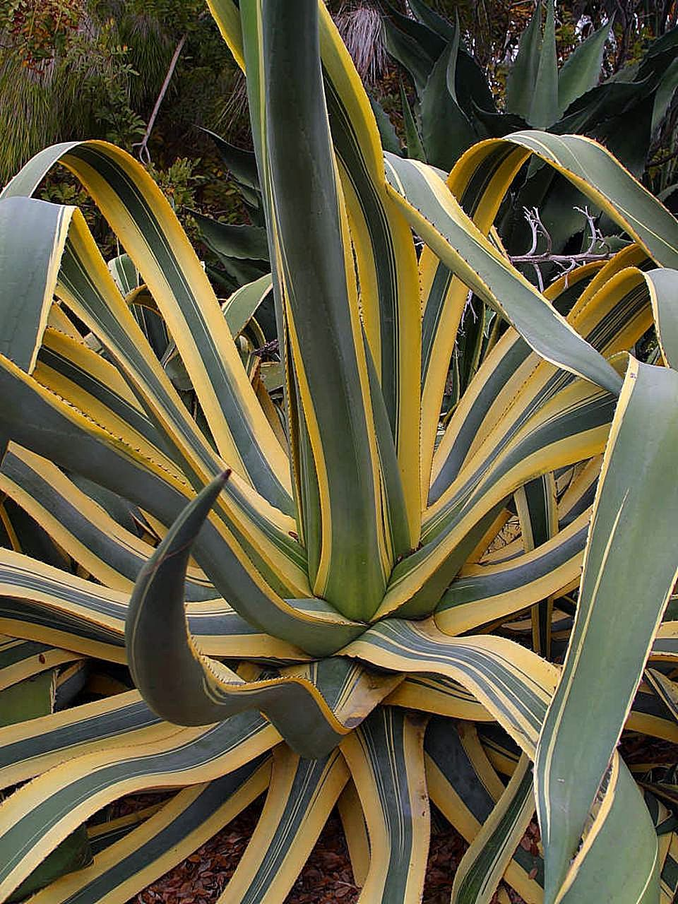 Free Picture Agave Cactus Plant Desert Flowers
