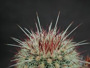 trnitá, kaktus