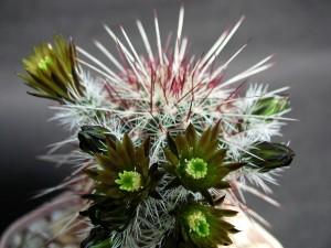 bodljikava, kaktus, biljka