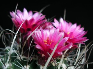 arame farpado, cacto, flores