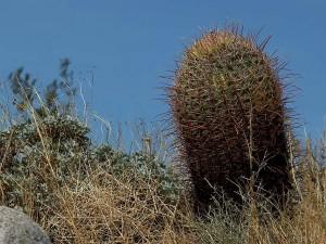 baril, cactus, cactus, Anza, Borrego, désert, cactus